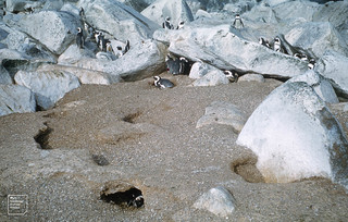 Jackass penguins in burrow. Jutten Island, South Africa 1969