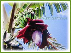 Beautiful flowering fruit of Musa acuminata (Dwarf Cavendish Banana, Ornamental Banana, Pisang Serendah), 6 July 2017