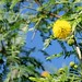 Small photo of ACACIA FARNESIANA