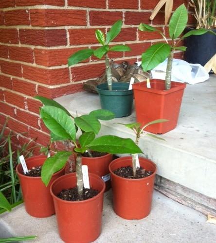 plumeria_seedlings_large