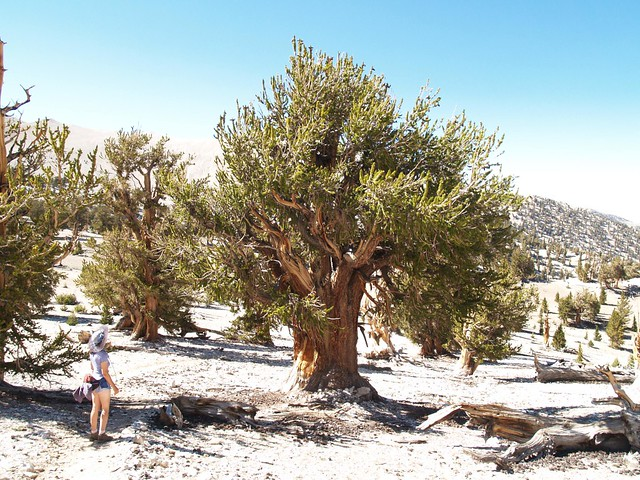 096 Another large specimen of Bristlecone Pine at the Patriarch Grove