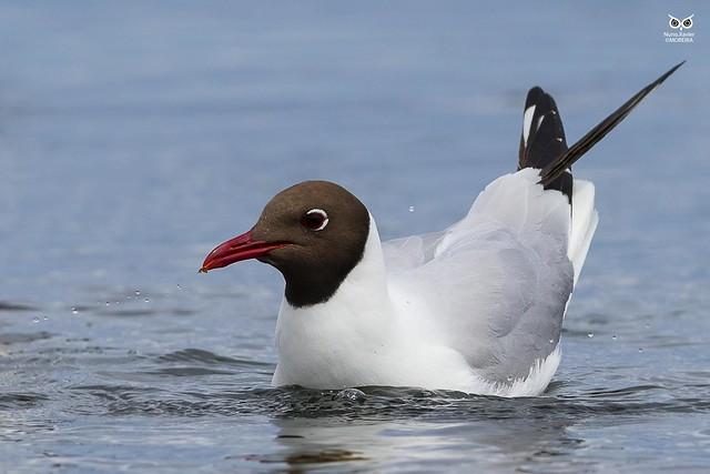 Black-headed gull(Chroicocephalus ridibundus)
