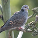 Dusky Turtle Dove (Tim Melling)