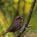 White Browed Rosefinch