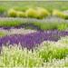 lavender fields by no 1 Jeannie