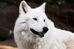The white wolf of zoo park in Berlino
