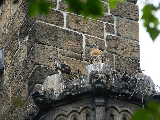 Cathedral Hawk Nestlings - 6064