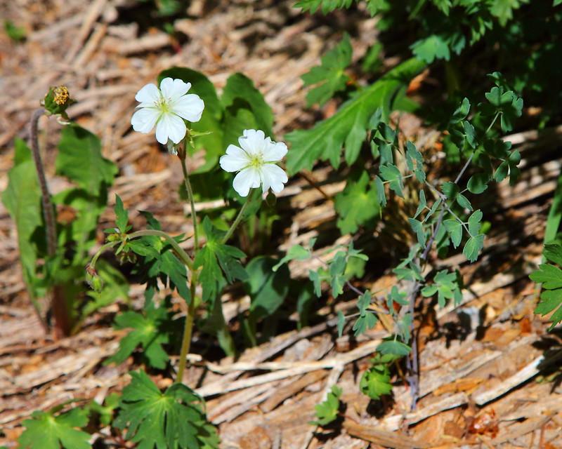 IMG_6450 Richardson Geranium (Geranium richardsonii)