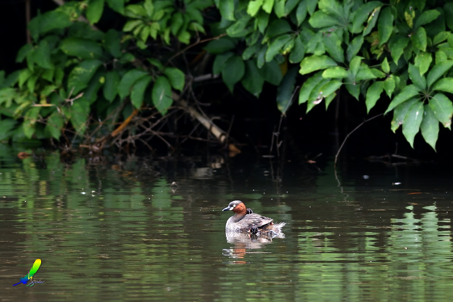 Little_Grebe_5660