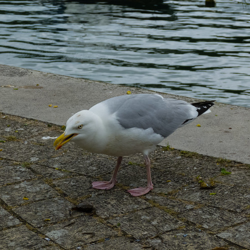 Herring gull, eating small crab