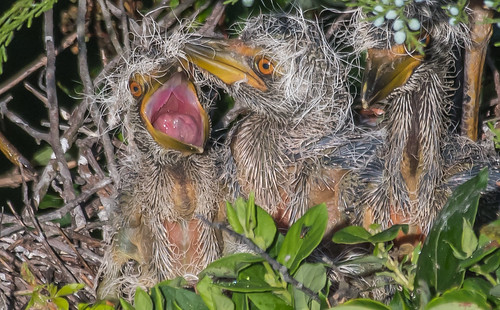 More Yellow Crowned Nigh Heron chick shots
