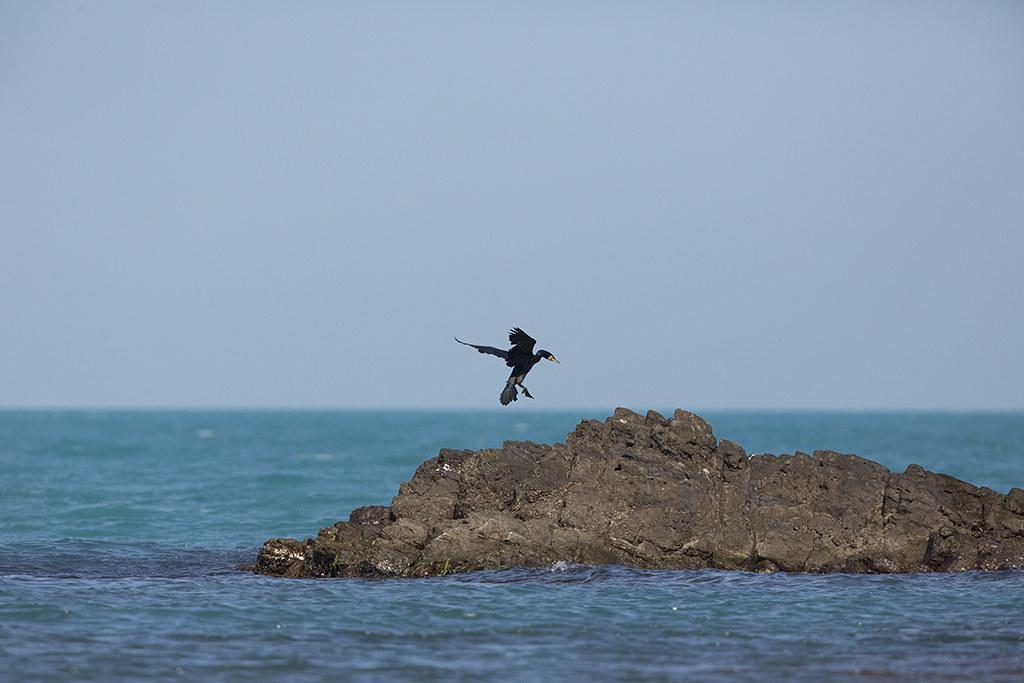 Cormorant  Phalacrocorax carbo