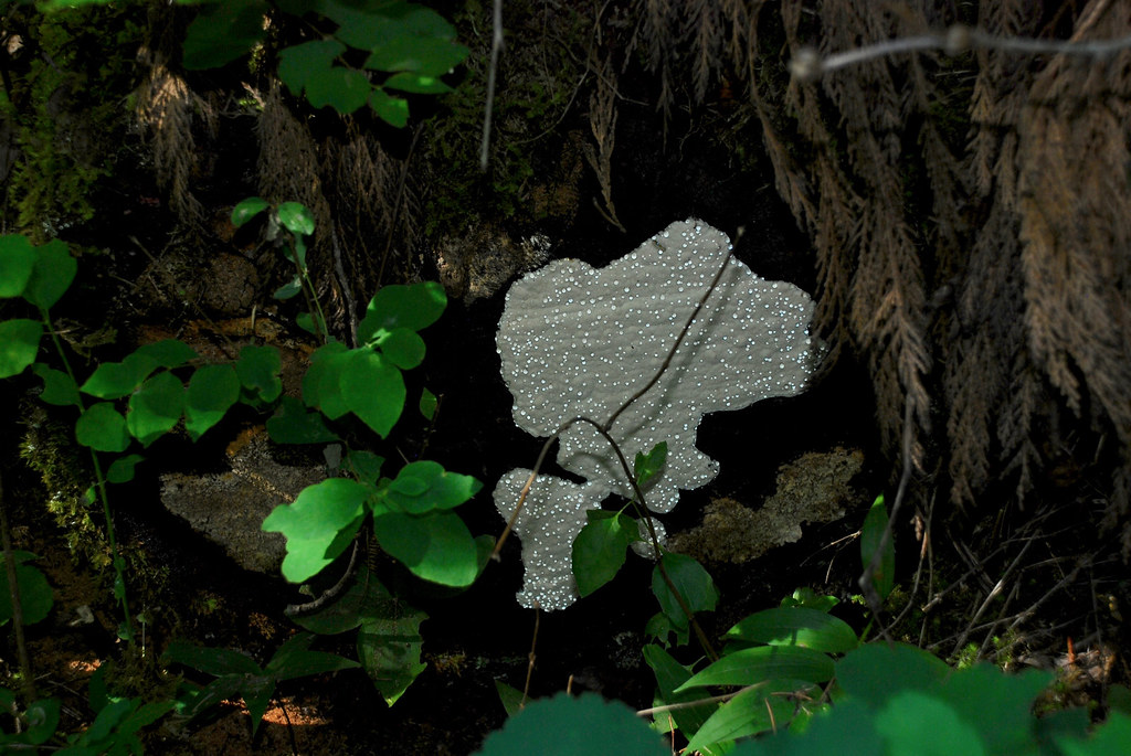 White Crust Lichen