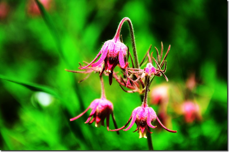 Prairie Smoke(Old Man's Whiskers)