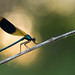 Calopteryx by schwartzdavid57