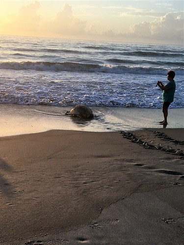 seaturtle loggerhead florida beach ocean atlanticocean marinelife sunrise