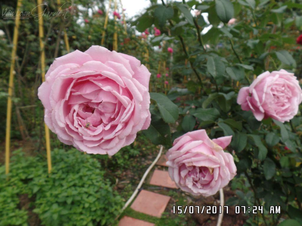 Soeur Emmanuelle rose hong ngoai (1)+vuonhongvanloan.com.JPG