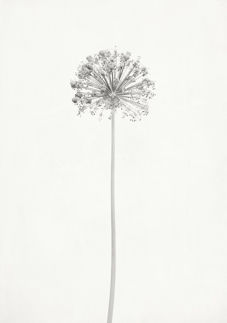 Allium, Nikon D610, AF-S Micro Nikkor 60mm f/2.8G ED
