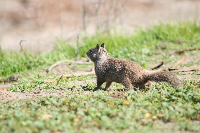 Ground Squirrel, Canon EOS REBEL T6I, Canon EF 75-300mm f/4-5.6 USM