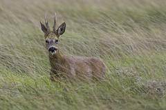 HolderRoe Buck