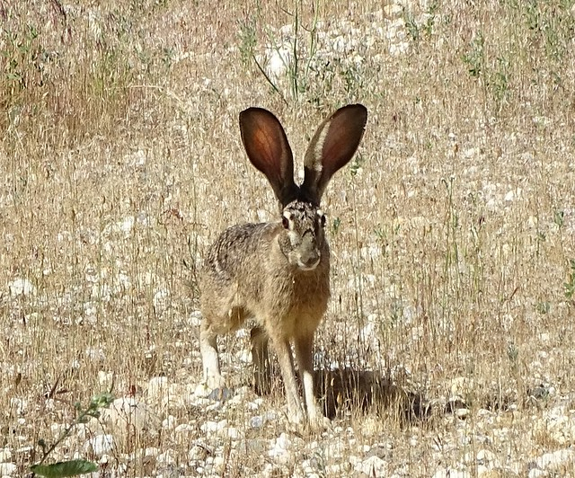 Black-tailed Jackrabbit--Lepus californicus