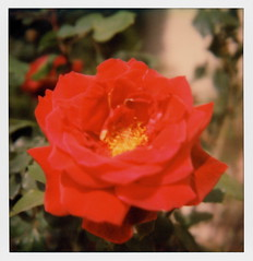 Beachwood Rose