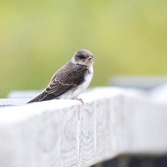 From a week or so ago a Sand Martin perched on the hand rail up to the Viaduct hide at the Floodplain Forest Nature Reserve in Milton Keynes #bird #birds #birding #birdstagram #sandmartin #martin #hirundine #nature #natgeo #natureshot #natureblog #outdoor