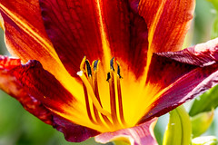 Red yellow flower lily