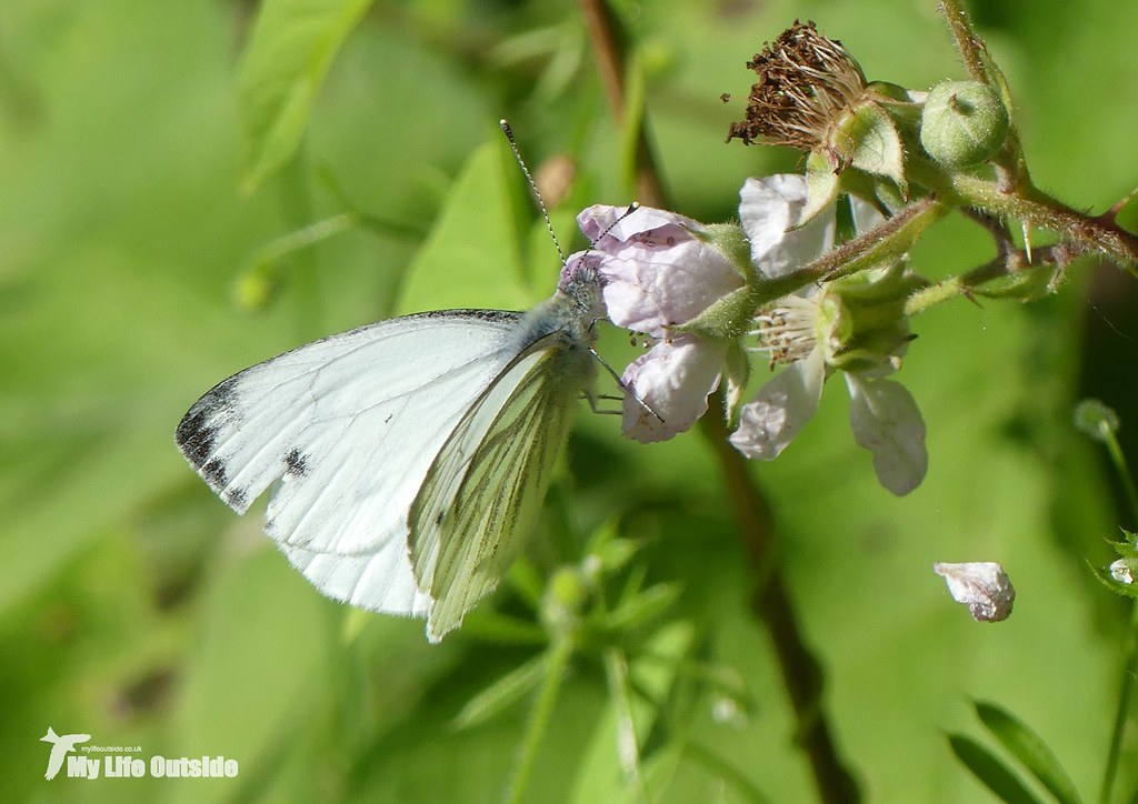 P1090474 - Green-veined White