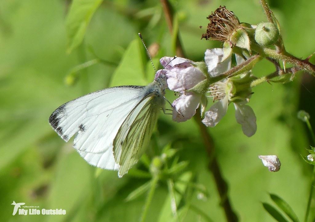 P1090474 - Green-veined White