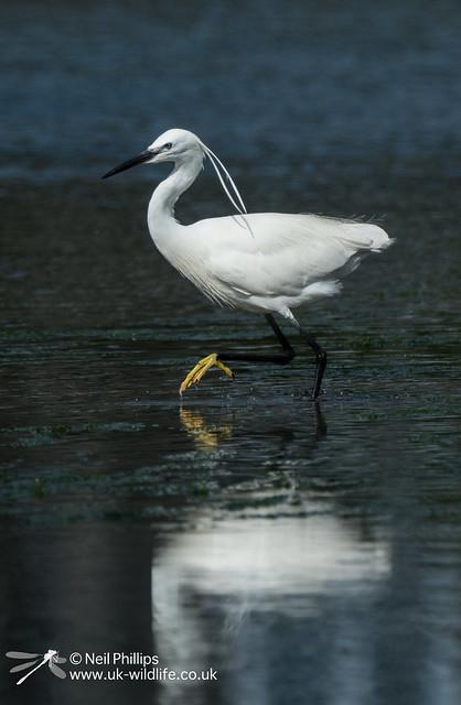 Little egret in West Looe River-7
