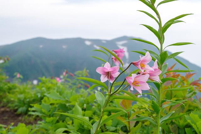鬼ヶ面山手前の小ピークに咲くヒメサユリと浅草岳
