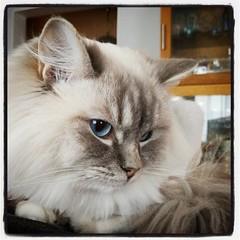 Wille, sötnosen och kelgrisen. #kattvakt