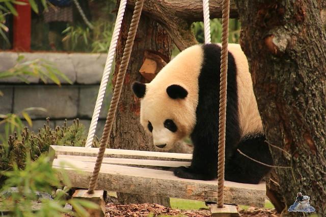 Panda Meng Meng und Jiao Qing im Berliner Zoo 09.07.2017 032