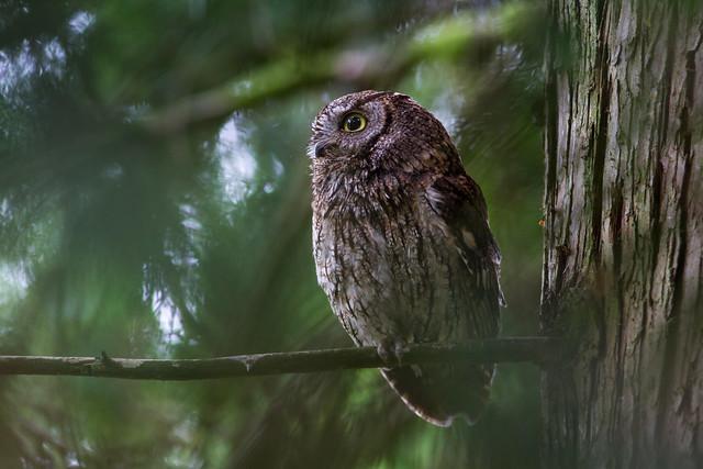 Western Screech Owl, Canon EOS 7D, Canon EF 300mm f/4L IS