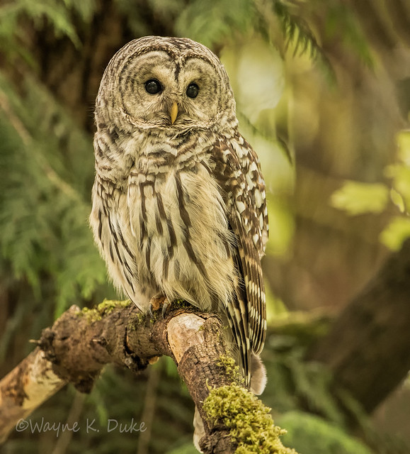ND5 0113 Barred Owl, Nikon D5, AF-S VR Nikkor 600mm f/4G ED