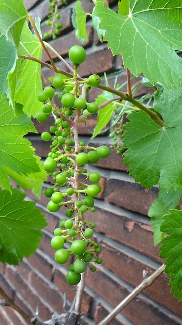 Balcony grapes, Sony DSC-HX200V