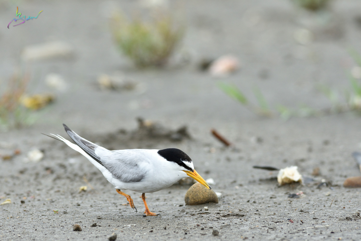 Little_Tern_3689
