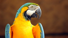 Smiling | Blue and Yellow Macaw