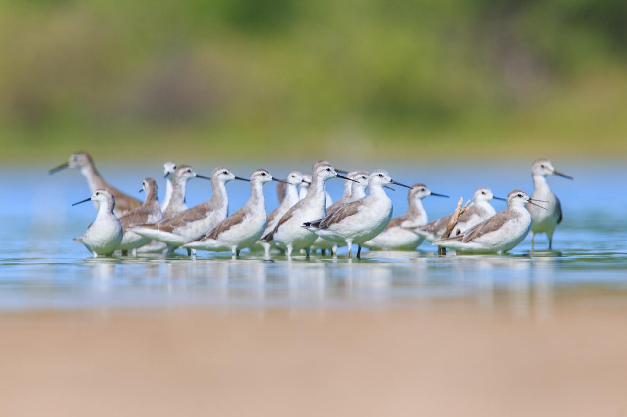 Alimentándose en Laguna Campo María, el falaropo tricolor o falaropo de Wilson (Phalaropus tricolor) es una especie de ave Charadriiforme de la familia Scolopacidae propia de América. Es el más grande de los falaropos; se reproduce en en el norte y debido a que es un ave migratoria, inverna en América del Sur. Custodiando los extremos, se observan ejemplares de Pitotoi chico (Tringa flavipes). (Tetsu Espósito).