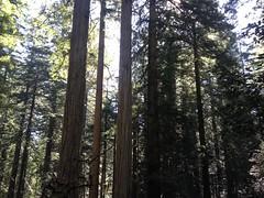 Redwood National Park. coastal redwoods