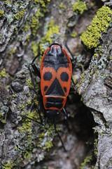 Firebug - Pyrrhocoris apterus