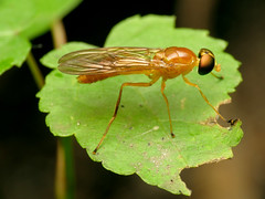 Compost Fly