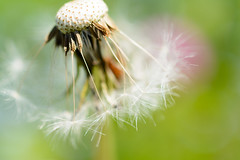 Dandelion's fluff