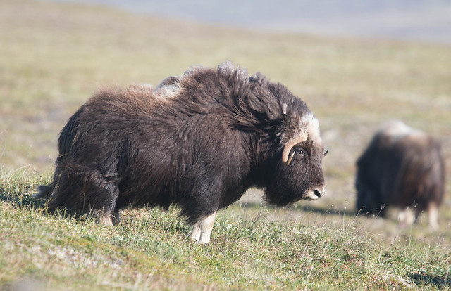 Muskox, Canon EOS 7D MARK II, Canon EF 400mm f/4 DO IS