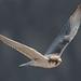 Lanner Falcon (Tim Melling)