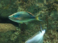 parrotfish - 1 (4)