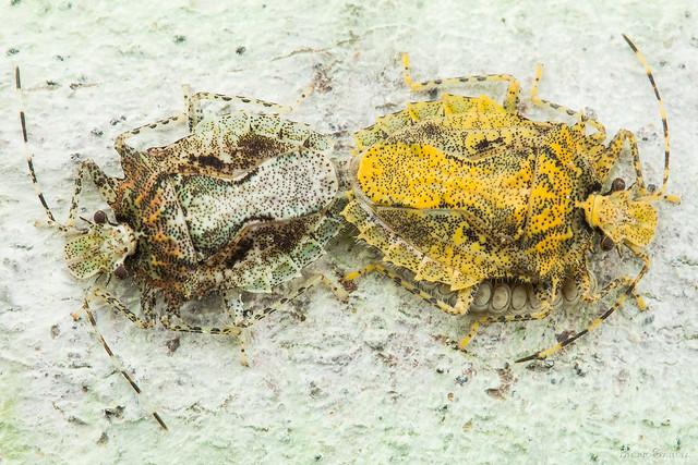 Pelidnocoris (Pentatomidae)