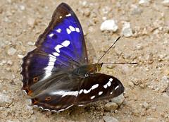 Purple Emperor (Apatura iris) male - Photo of Saissac