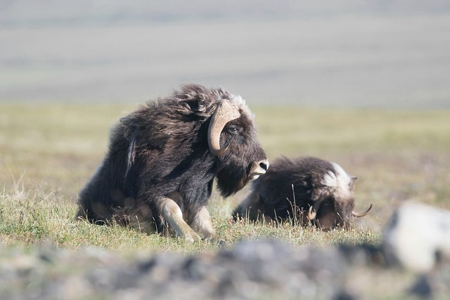 Muskox 2, Canon EOS 7D MARK II, Canon EF 400mm f/4 DO IS